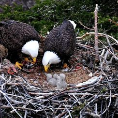 Eagle Chicks