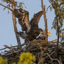 Juvenile and Adult Bald Eagles