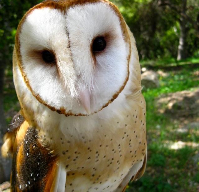 Figure 2: Barn Owl