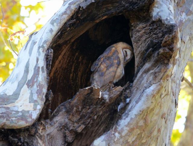Figure 5: Barn owl in tree hole