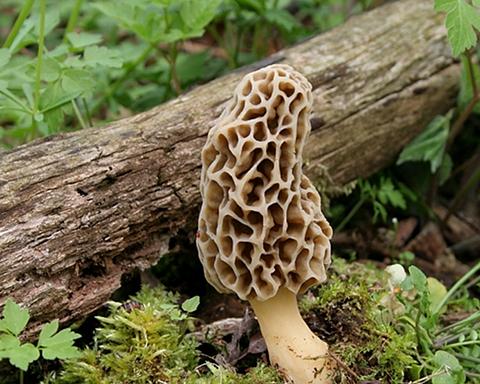 Image 1: Morel Mushroom