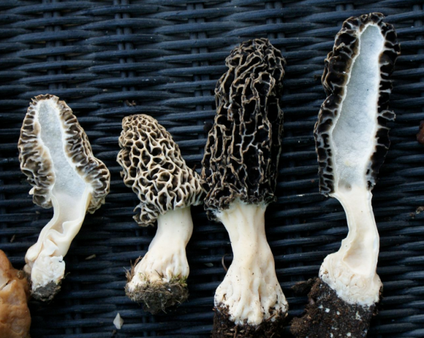 Figure 3: Grey Morel