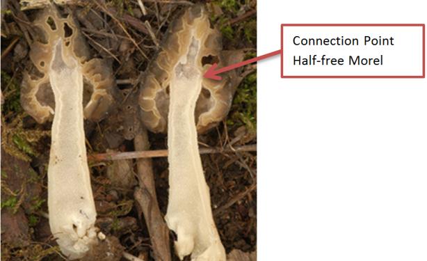 Figure 5: Half-free Morel