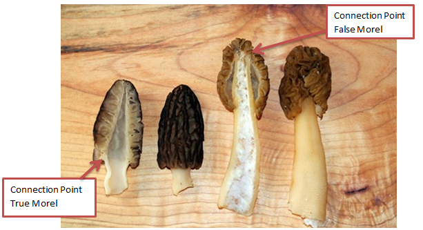Figure 6: False vs. True Morel