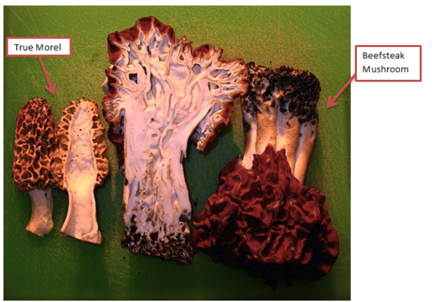 Figure 7: Beefsteak vs. Morel