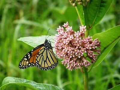 Figure 5: Milkweed and Monarch