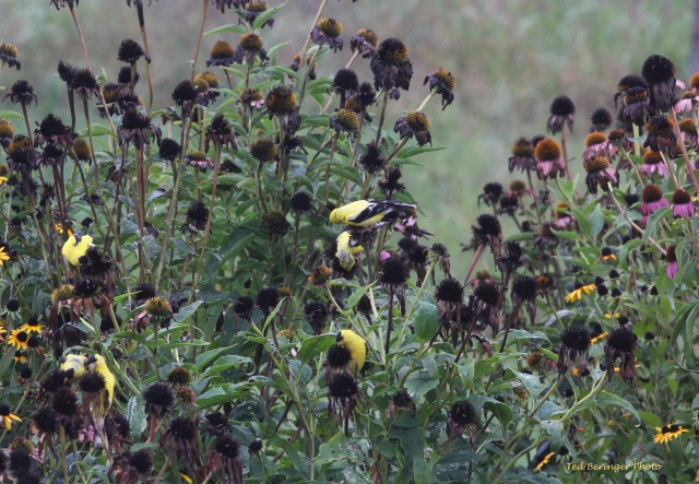 Figure 6: Goldfinches on Purple Cone Flowers