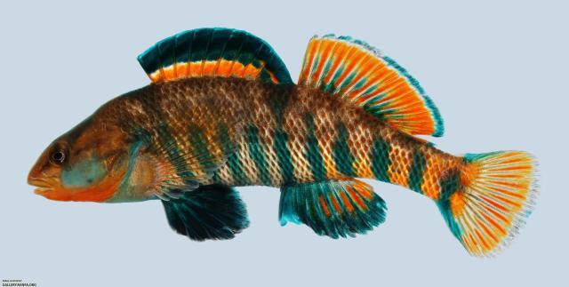 Figure 1: Male Rainbow