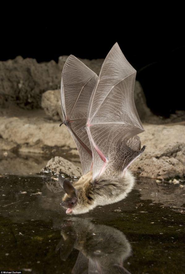 Figure 1: Bat drinking.