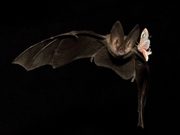 Figure 2: Townsend's Big-eared bat catching an insect.