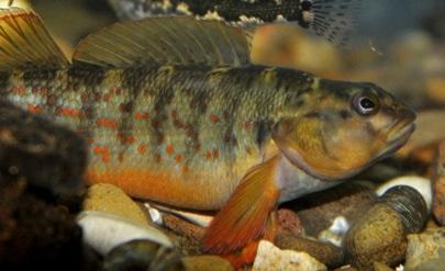 Figure 2: Bluebreast Male Darter