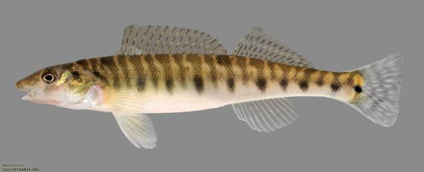 Figure 3: Logperch