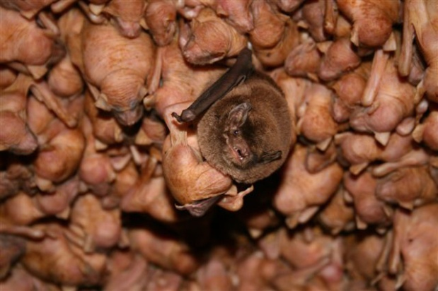 Figure 3: Mother bat with her pup in a maternity colony.