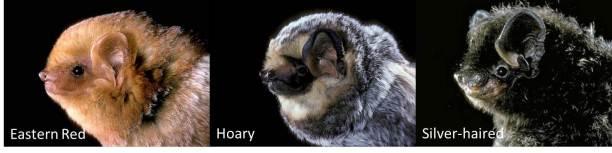 Figure 4: Migratory bats.