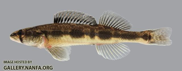 Figure 4: Blackside Darter