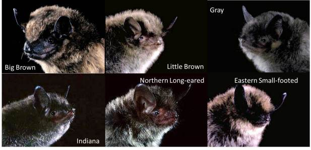 Figure 5: Examples of native Midwest bats.