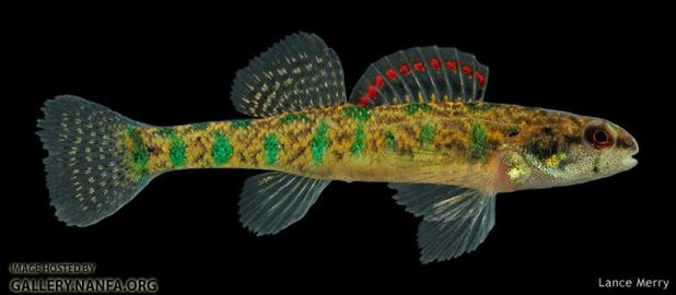 Figure 6: Male Slough Darter