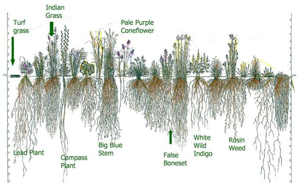 Figure 4: Diagram of turf grass and prairie plant roots