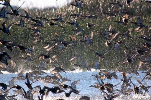 Figure 1: Redheaded ducks in Texas