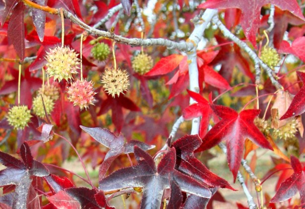 Figure 4: Sweet gum leaves