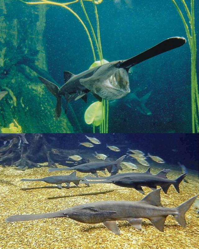 Figure 4: Paddlefish