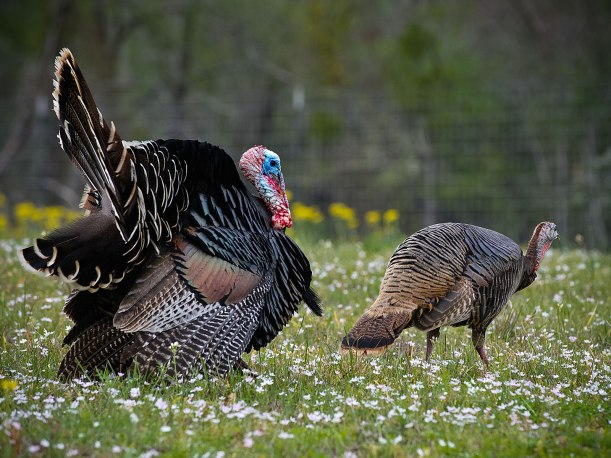 Figure 3: Male Turkey courting a hen.