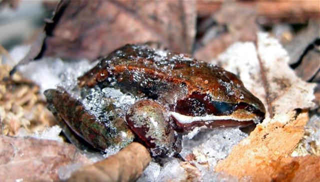 Figure 3: Wood Frog in frozen hibernation