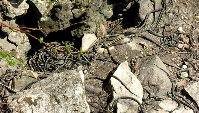 Figure 4: Garter snakes emerging from a hibernation den