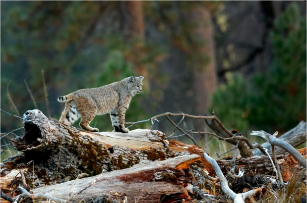 Figure 1: A beautiful Bobcat
