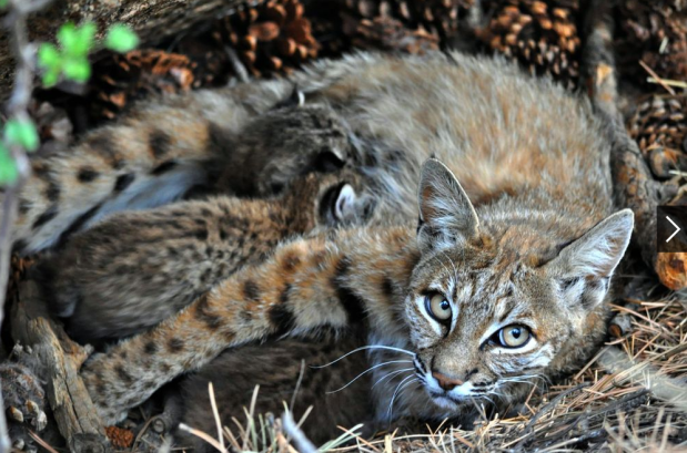 Figure 3: A mother Bobcat