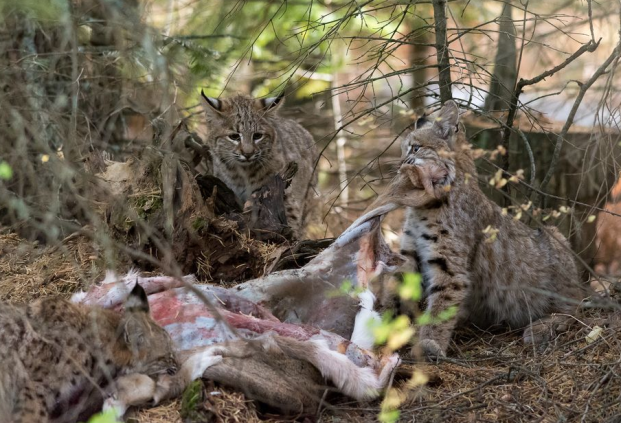 Figure 4: Bobcat kittens
