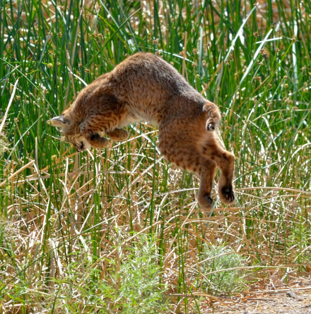 Figure 5: A Bobcat pounces