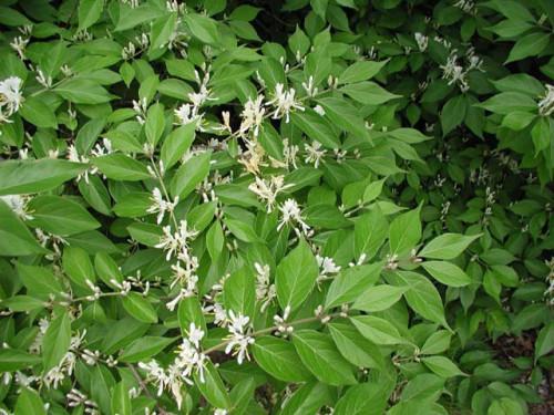 Figure 6: Bush Honeysuckle in bloom