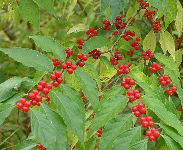 Figure 7: Bush Honeysuckle fruits
