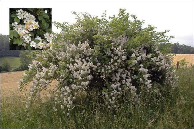 Figure 2: Multaflora Rose in bloom