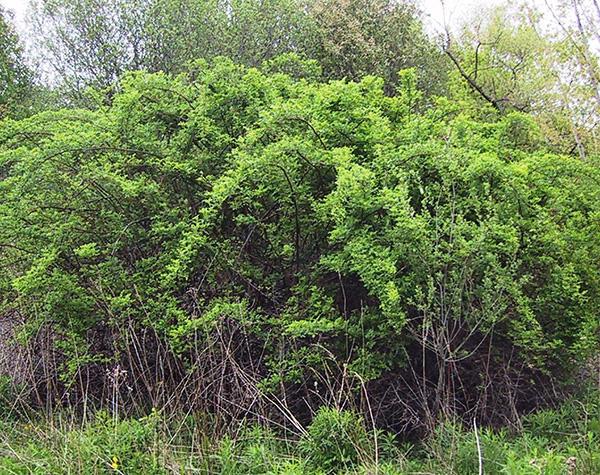 Figure 2: Multaflora Rose bush