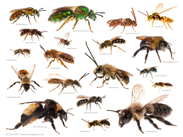 Figure 1: North American bees