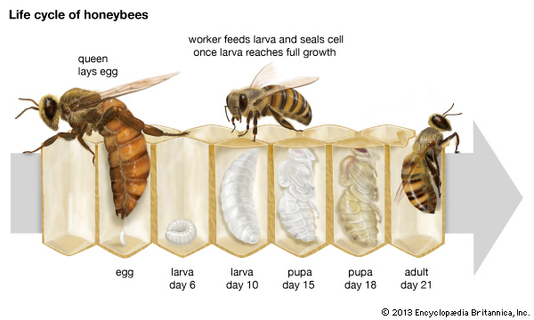 Figure 2: Honeybee life cycle.