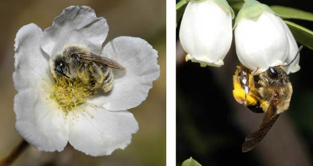 Figure 3: Two different bee species.