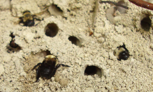 Figure 4: Anthophora abrupta, the miner bee