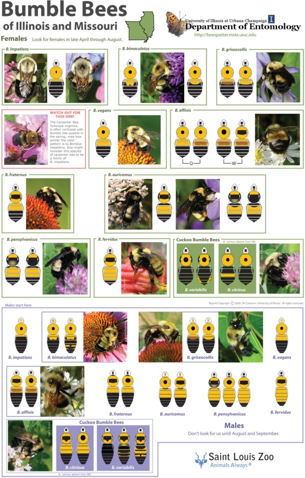 Figure 5: Bumblebee species of Illinois and Missouri identification guide