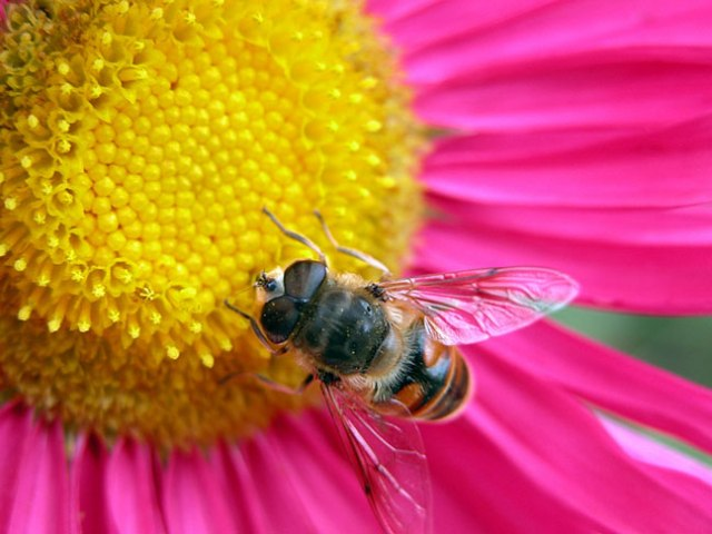 Figure 6 Bee-mimicking fly. Photo courtesy of www.edgevillebuzz.com