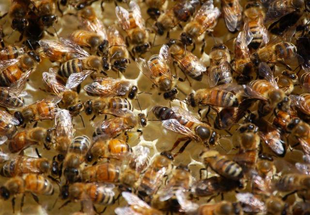 igure 1: Honeybees tending their queen.