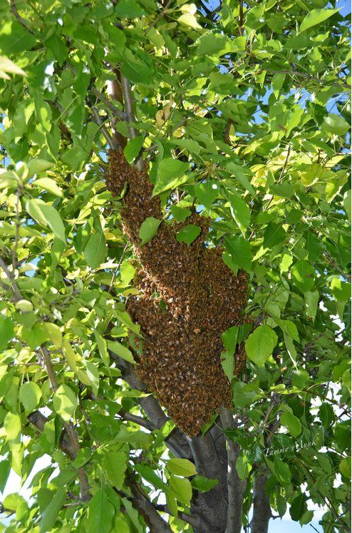 Figure 5: Honeybee swarm.