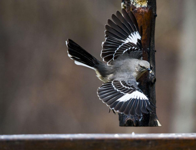 Figure 1: Northern Mockingbird