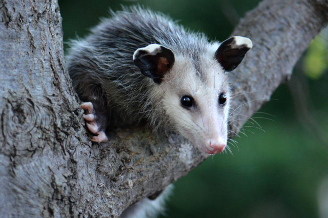Figure 2: Virginia Opossum