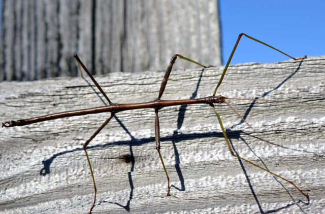 Figure 3: Walkingstick Bug