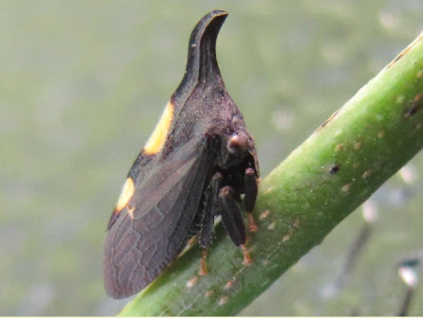 Figure 4: Two-marked treehoppper.