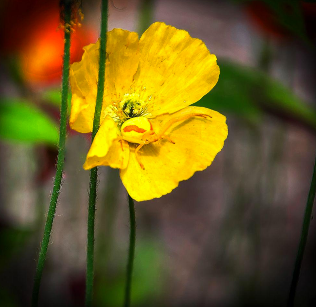Figure 5: Crab spider waiting in a flower