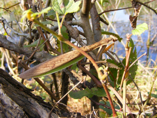 Figure 6: Praying Mantis